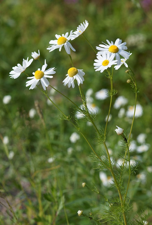 German Chamomile.