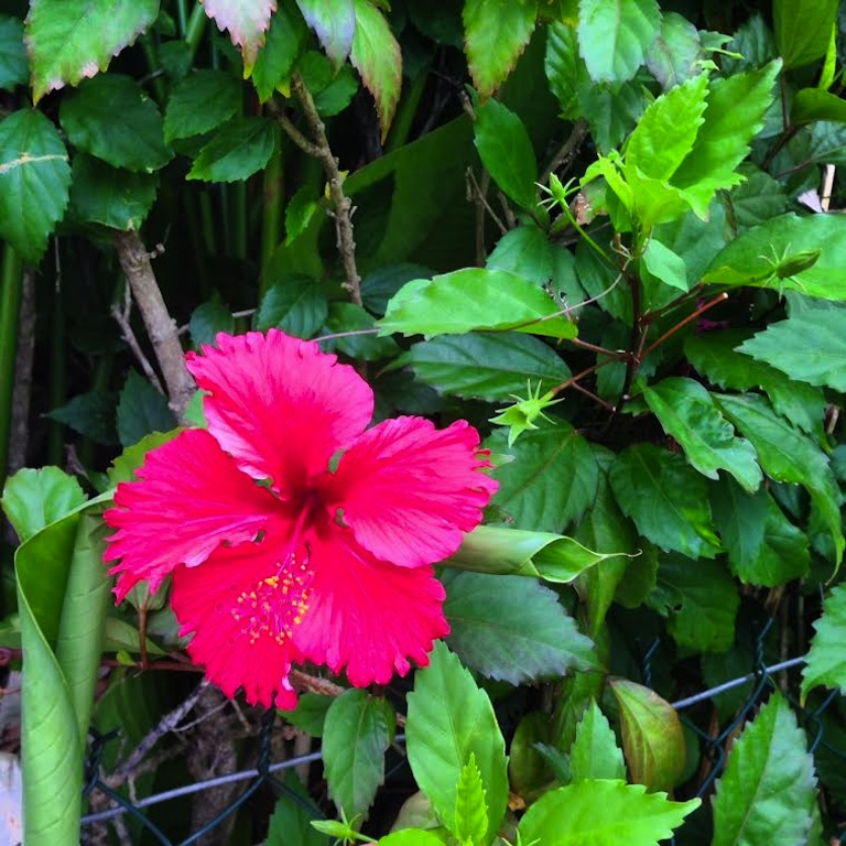 Hibiscus at the resort.